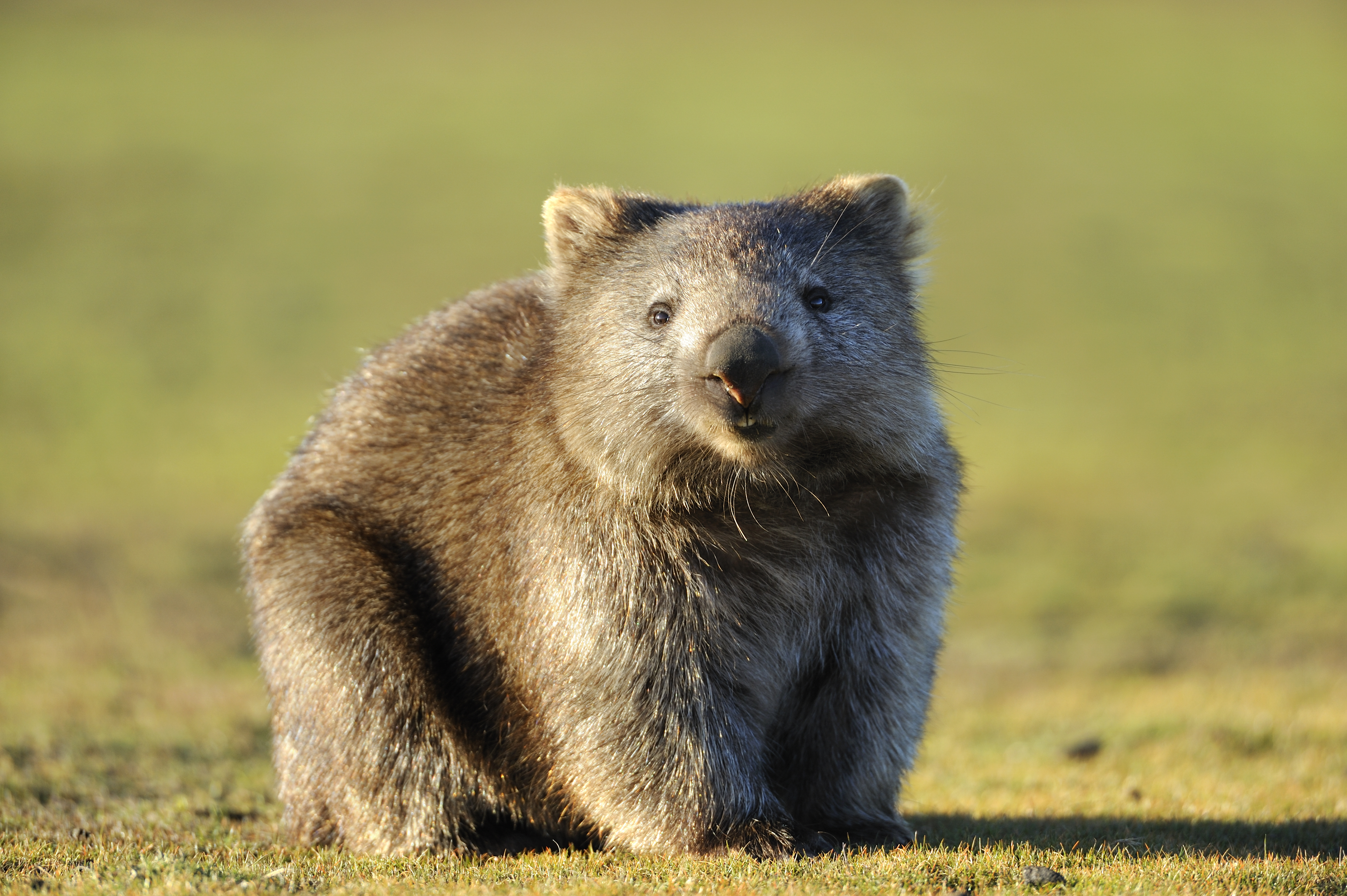 washingtonpost.com - Cleve Wootson - Scientists stuffed balloons into dead wombats to learn why they poop cubes