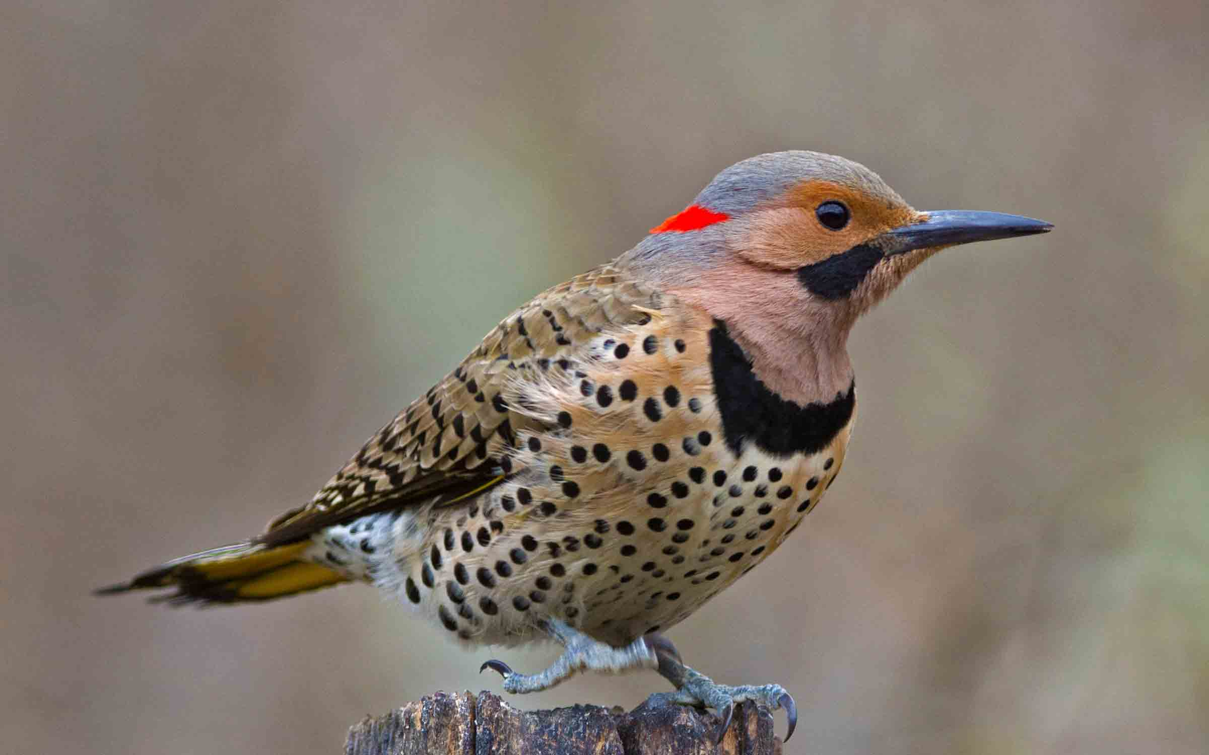 The Percussive Appeal Of The Woodpecker The Washington Post