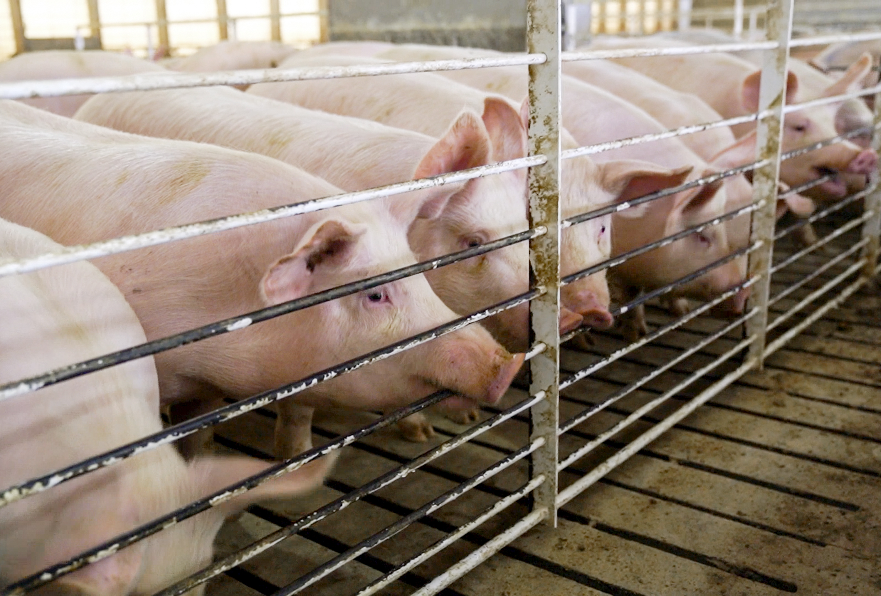 washingtonpost.com - Jeff Stein - Chinese-owned pork producer qualifies for money under Trump's farm bailout