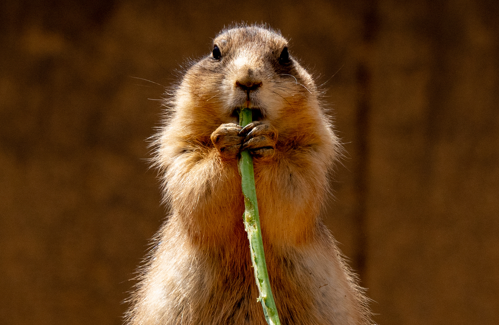 Prairie dogs infected with plague prompt officials to shut down parts of Denver - The Washington Post