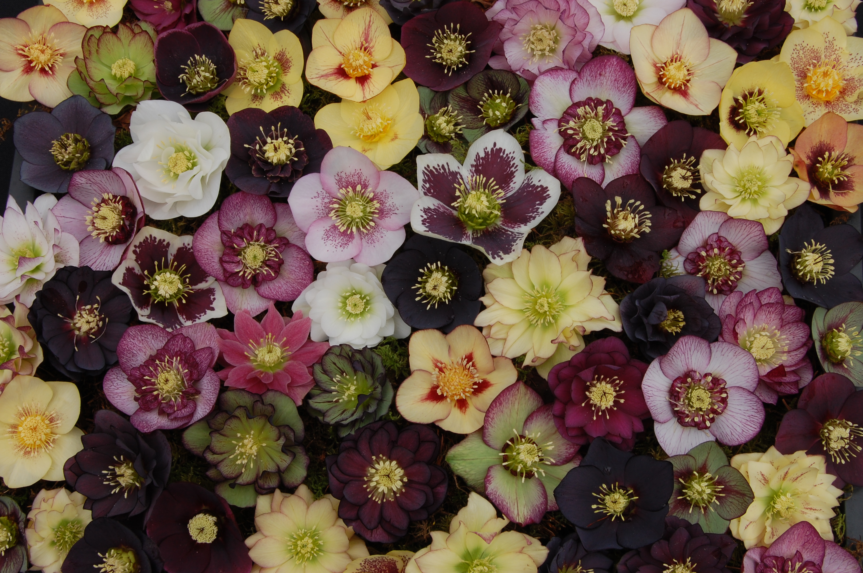 The Hellebore Popular Early And Now In A Dazzling Variety The