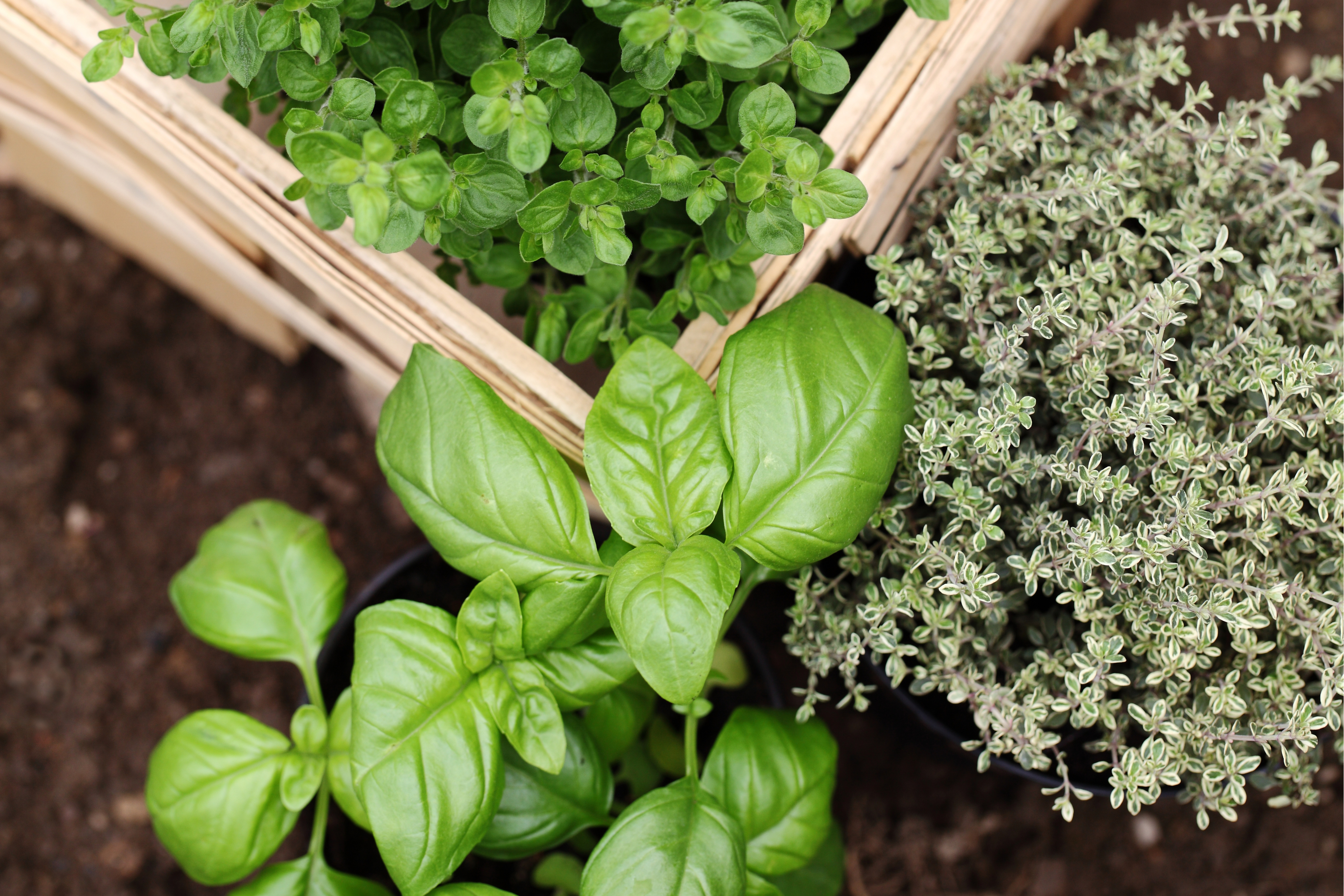 How To Grow Lavender Thyme Basil And Other Herbs The