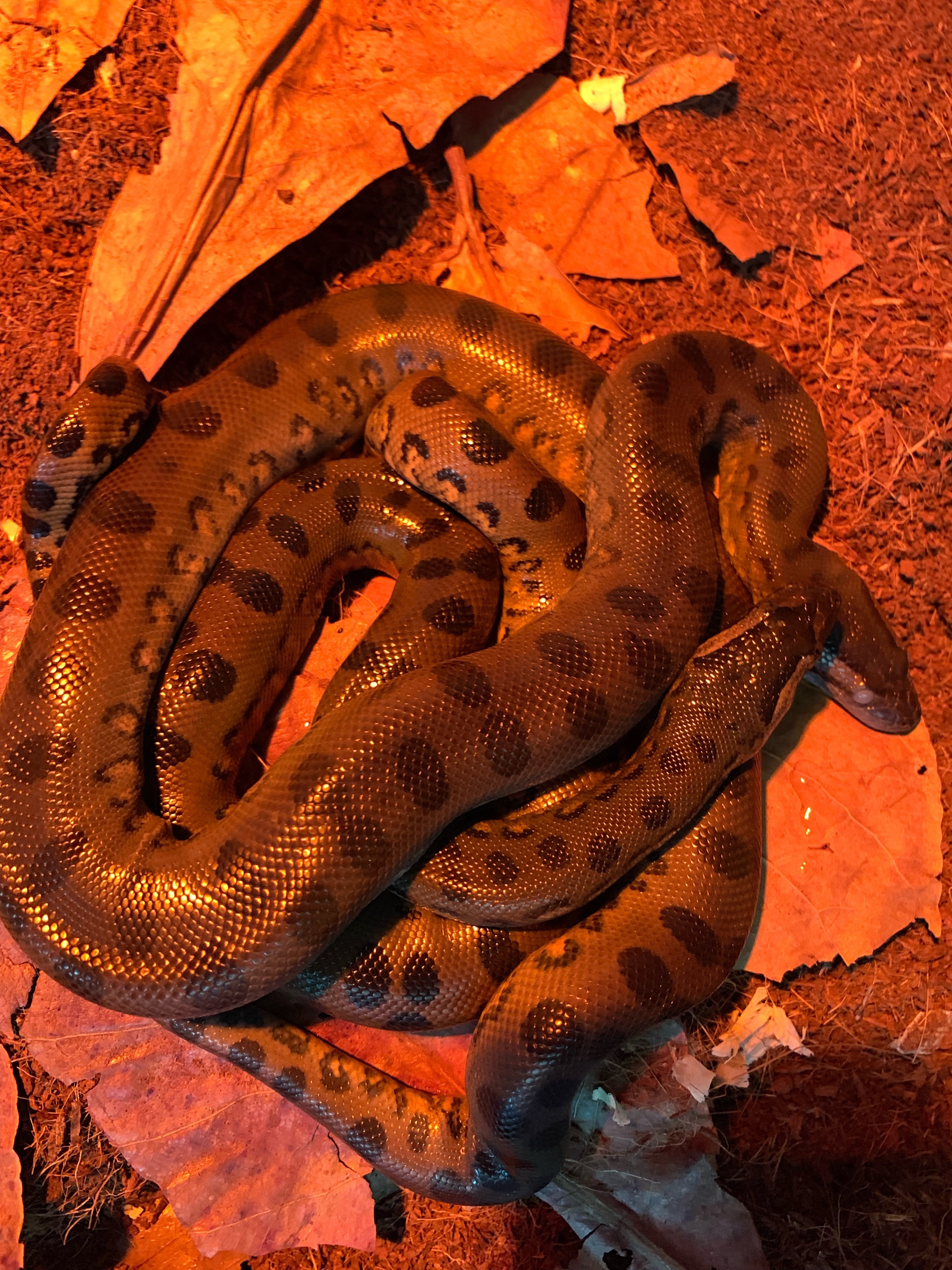 Young anaconda snakes born by parthenogenesis hang out together in a behind-the-scenes holding area at the New England Aquarium in Boston.