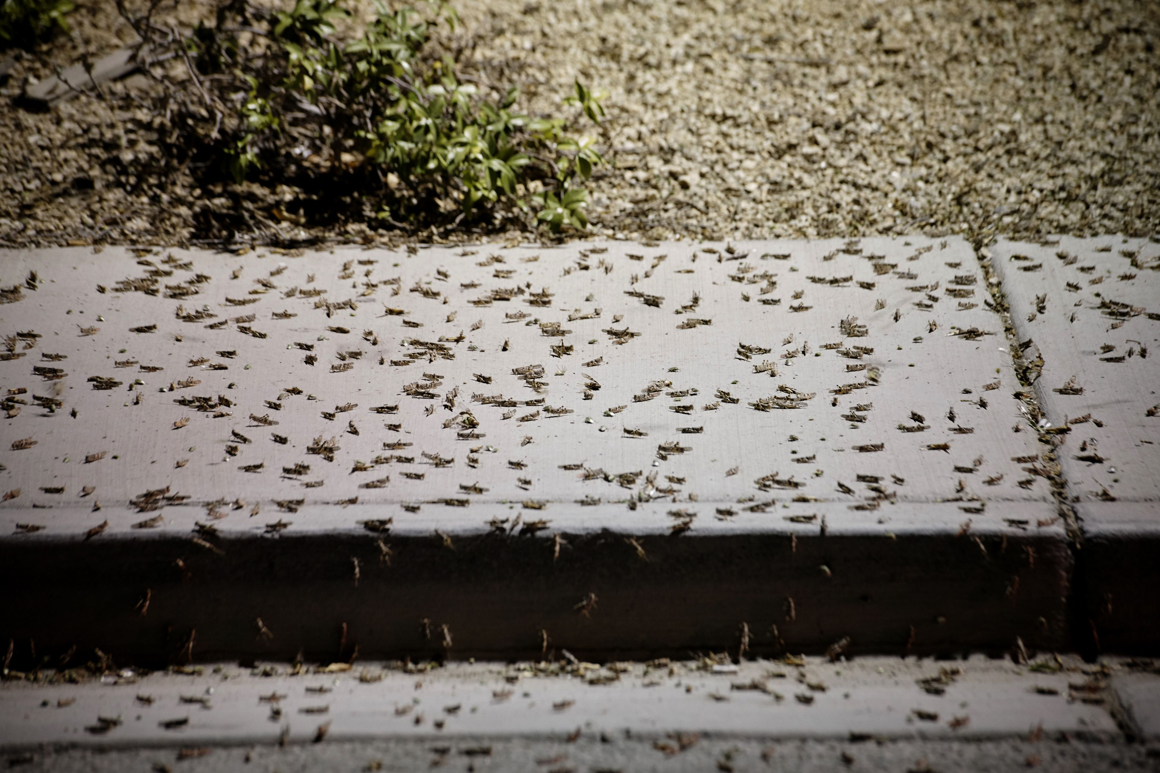 Grasshopper invasion in Las Vegas is so big it shows up on