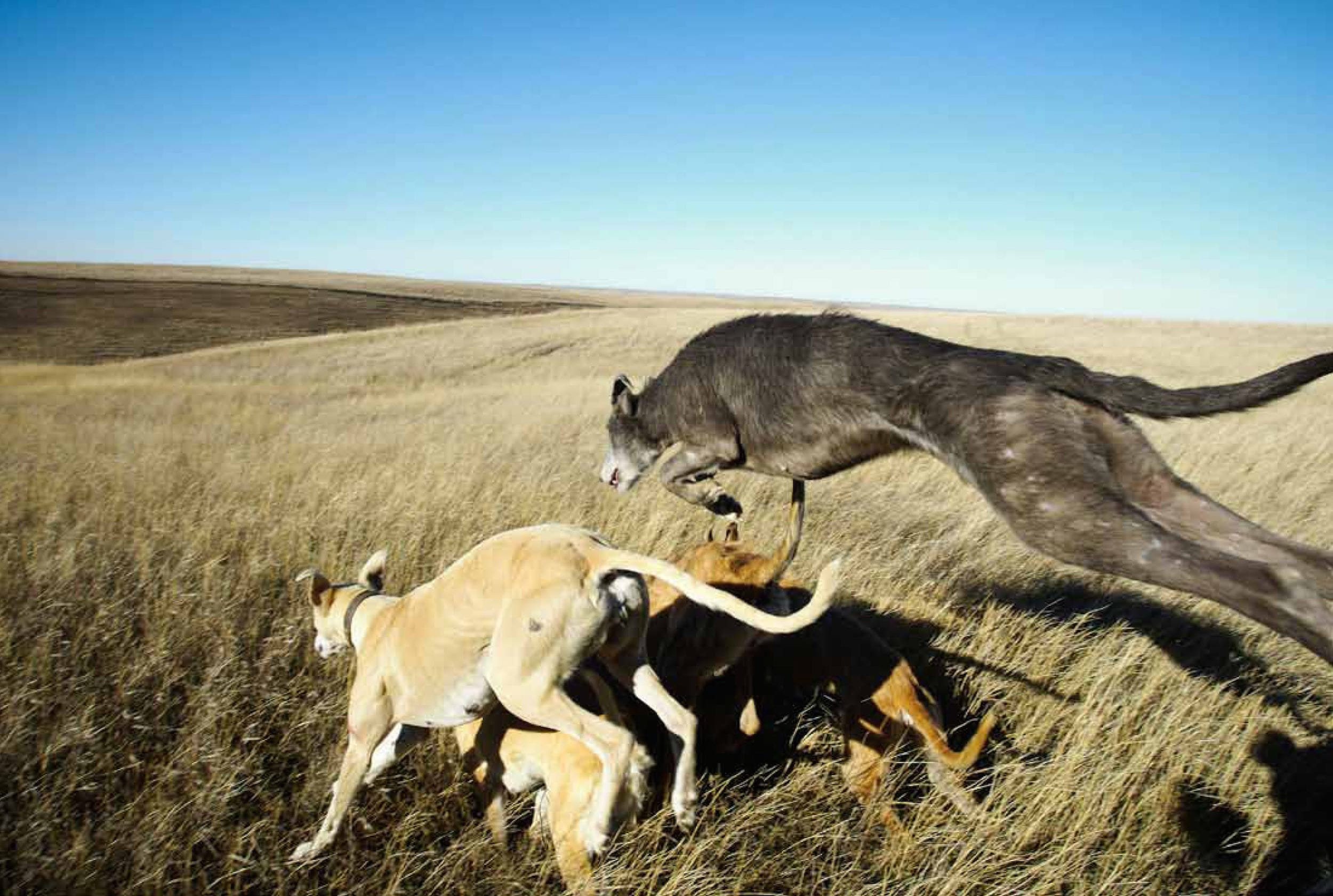 Inside the controversial culture of using dogs to hunt