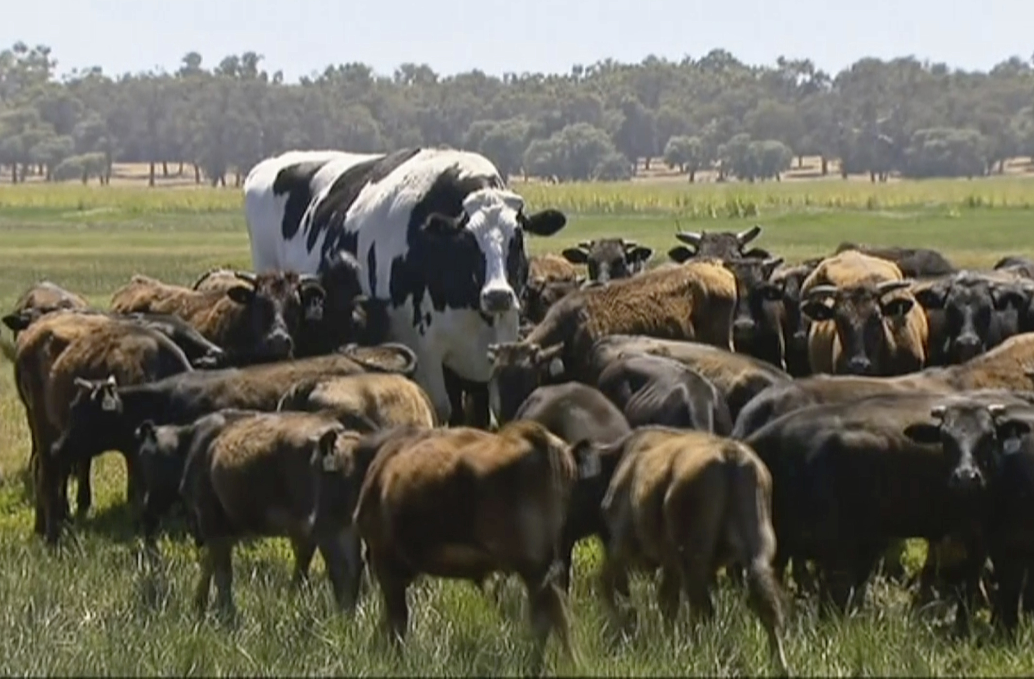 Large Australian steer captivates the Internet