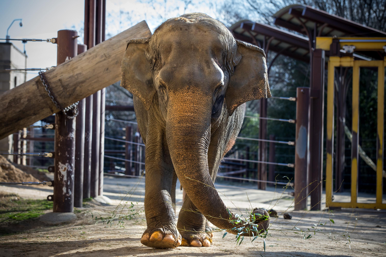 Elephant Euthanized At National Zoo The Washington Post