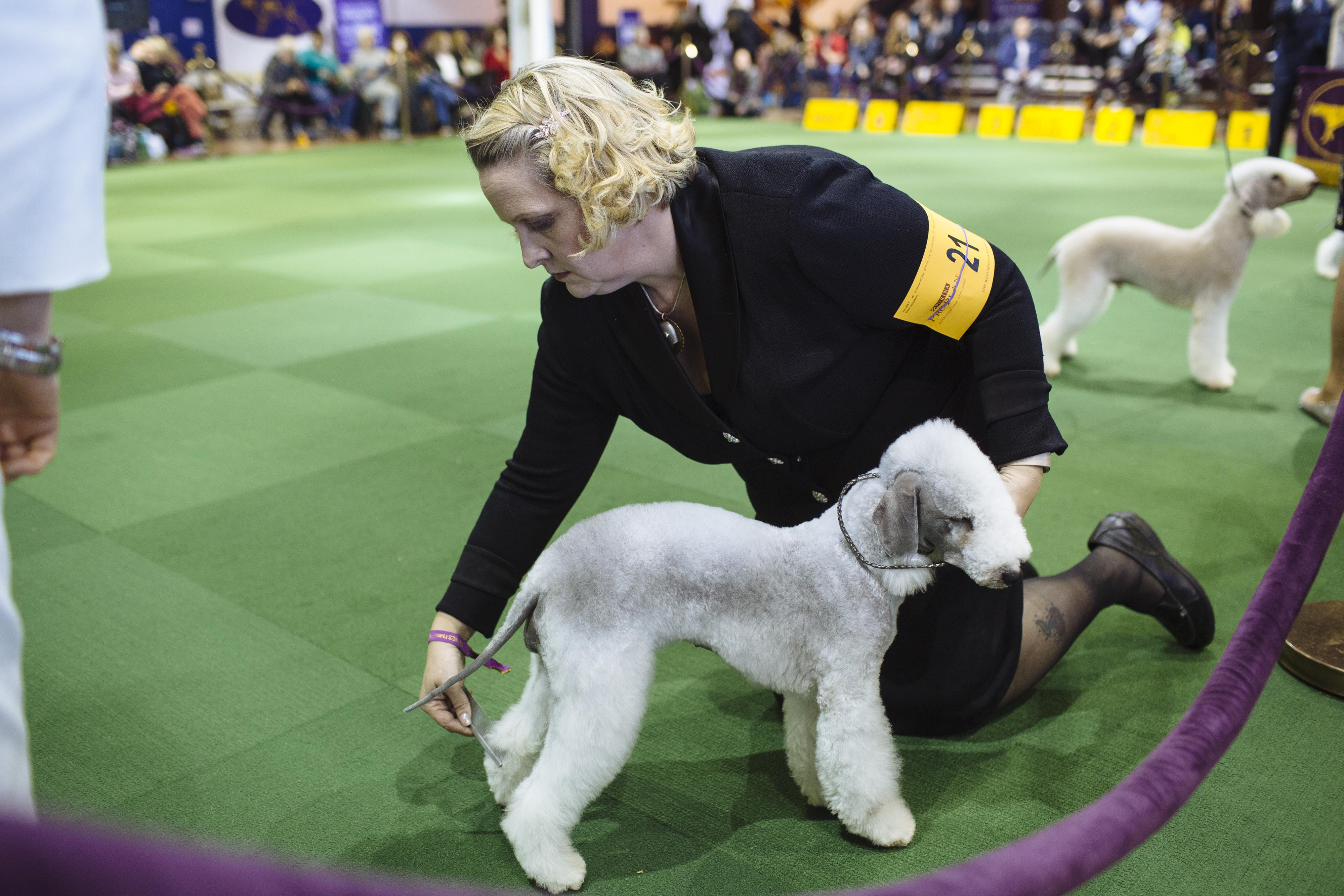 Westminster dog show winner: King, a wire fox terrier, wins