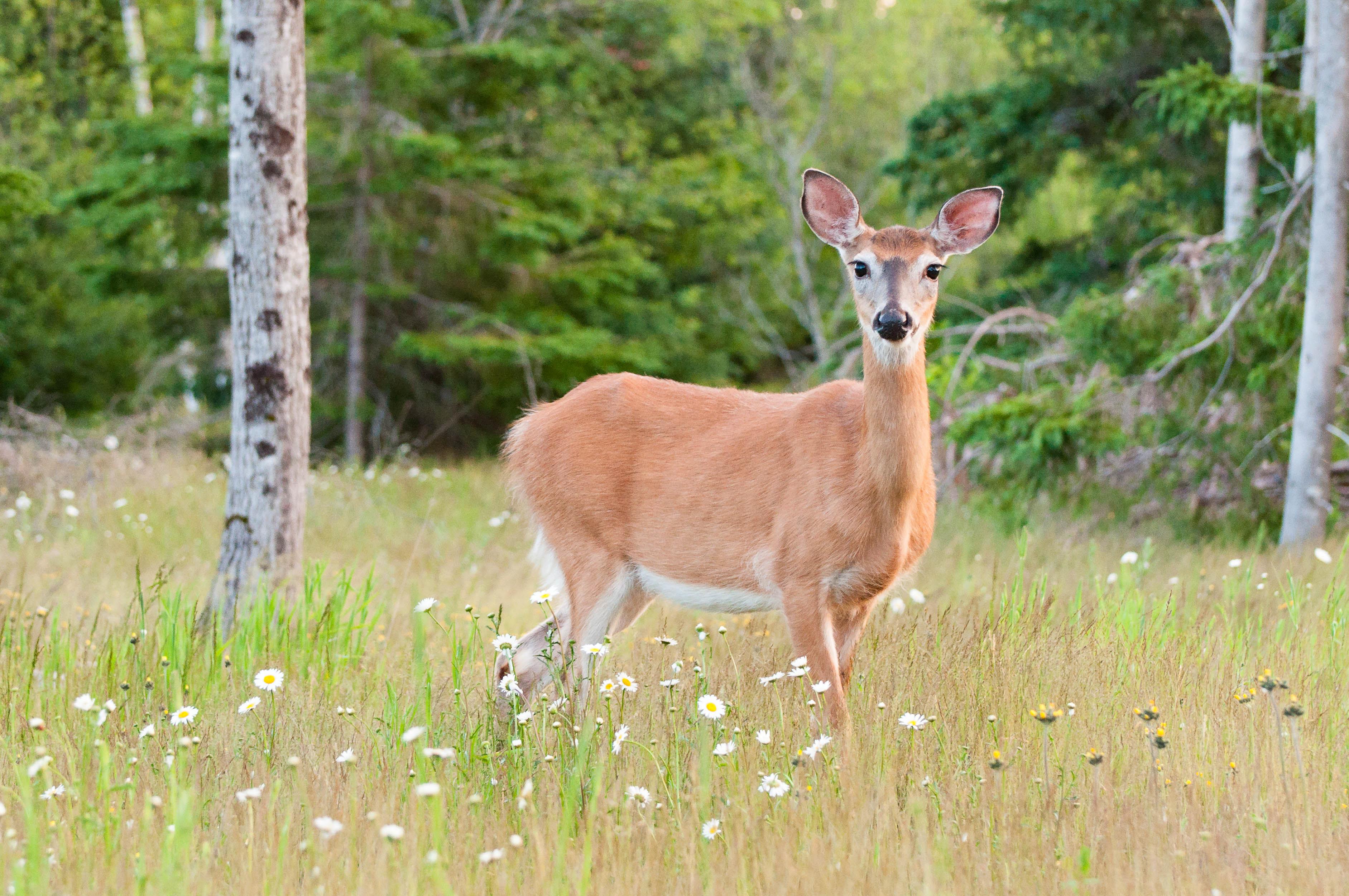 A deadly deer disease is spreading. Could it strike people, too?