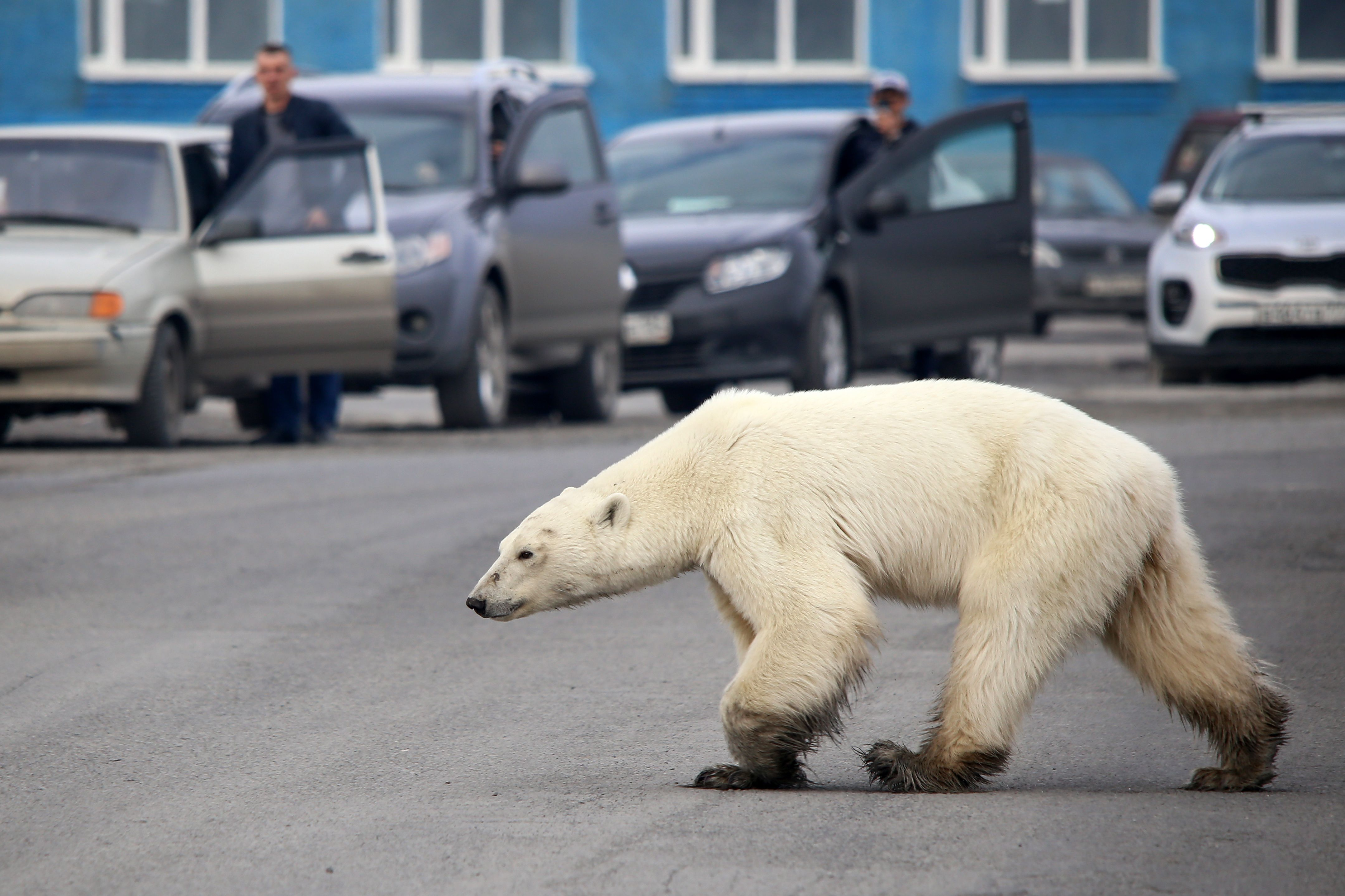 A starving polar bear wandered into a city, scavenging for food hundreds of miles from home