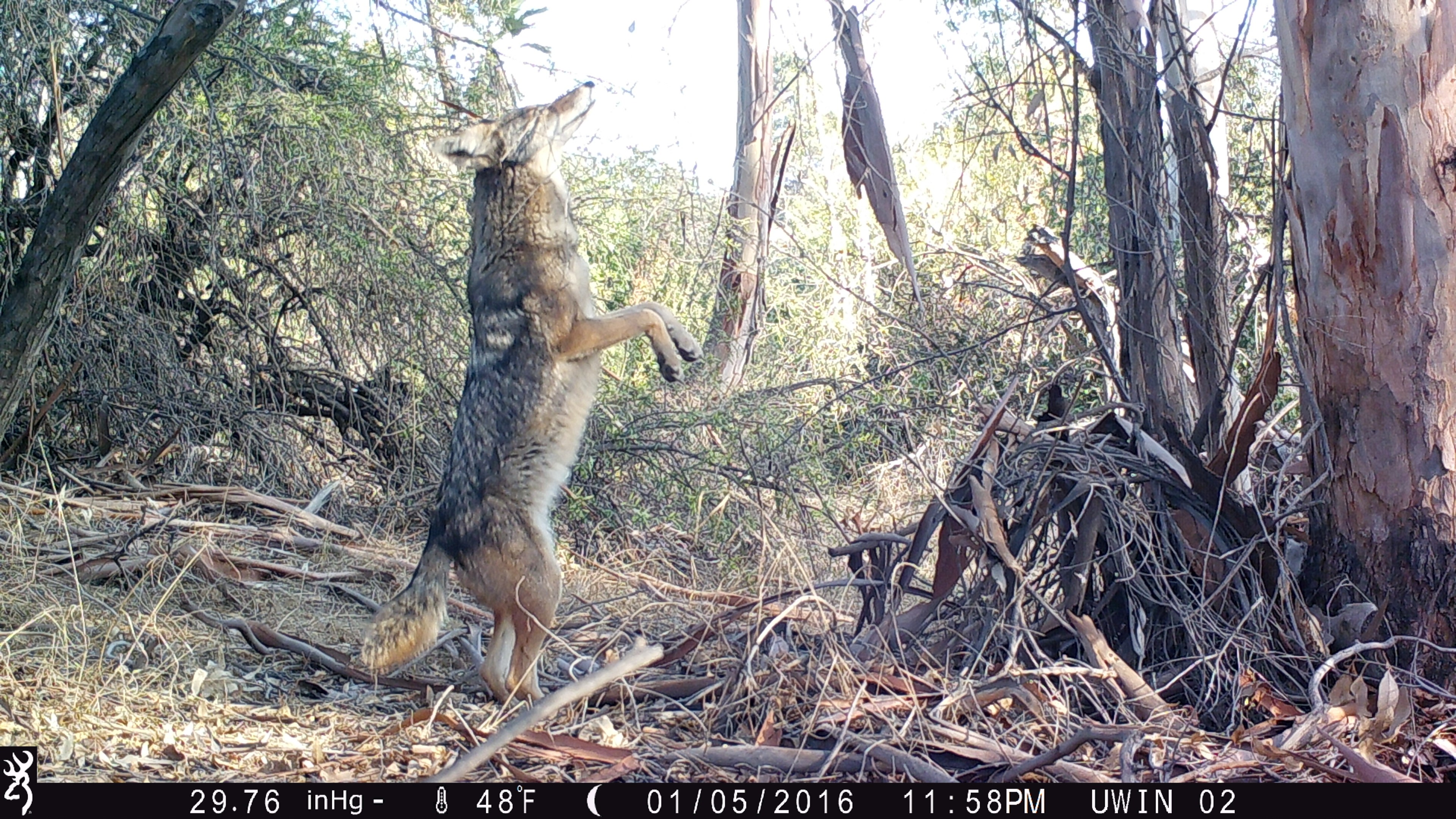 Here's why there are so many coyotes and why they are