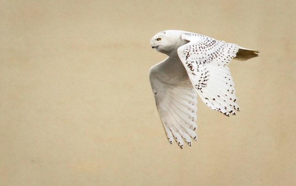 Another snowy owl lands in Fairfax County, perches atop