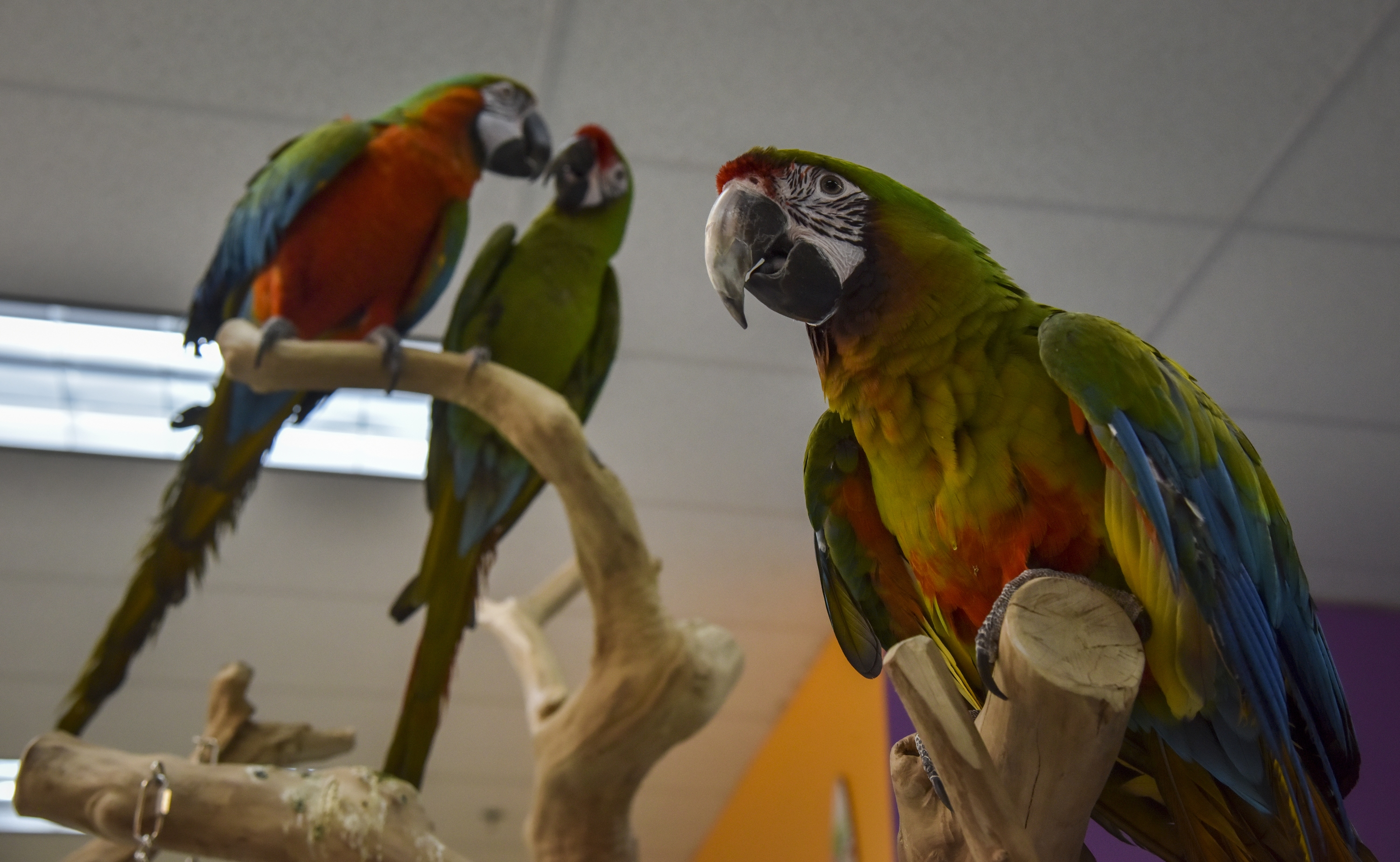 Two Unlikely Parrots Fell In Love And They May Have Created A New Species The Washington Post