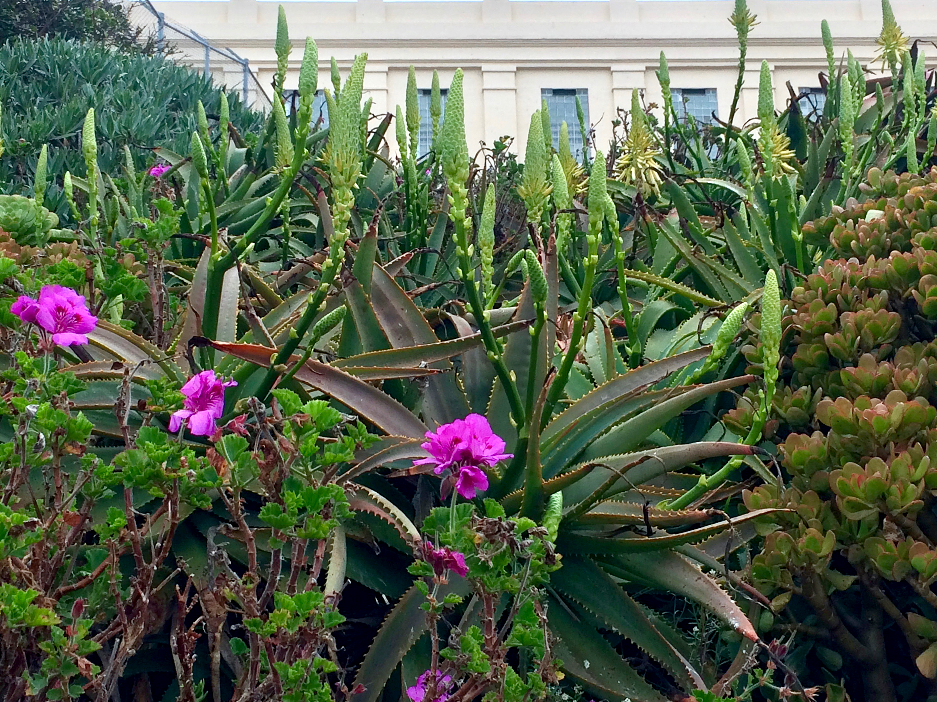 On Alcatraz The Island S Prison Gardens Are In Full Flower The